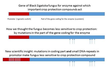 Diagram Ergebnisse Abwehrmechanismus des Black-Sigatoka-Pilzes. Foto © Wageningen University & Research