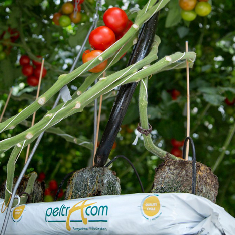 """Sustainable Grow Bag for Tasty Tomatoes"". Foto Greenyard Horticulture Belgium"