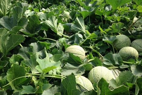 Cantaloupe-Melonen. Foto Quimicas Meristem S.L.