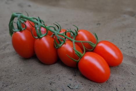 """Spotlight"" Messepremiere: Regale F1-Tomate - CORA SEEDS srl"