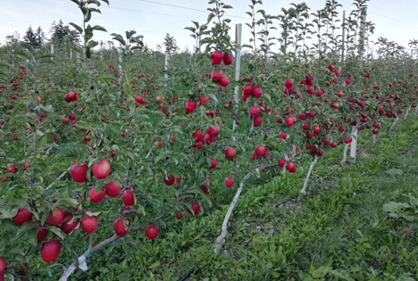 Innovatives Anbausystem optimiert Apfelernte