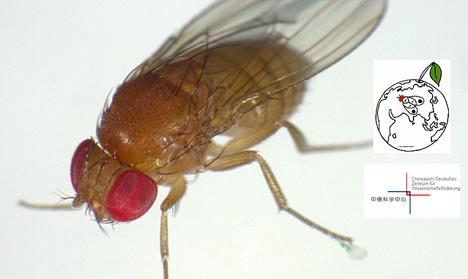 Kirschessigfliege Drosophila suzukii. Foto © JKI