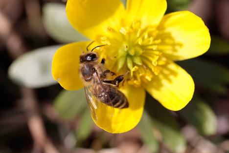 Die Entdeckung des Enzyms CYP9Q eröffnet neue Möglichkeiten, bienenfreundliche Insektizide zu entwickeln. Foto © Bayer AG