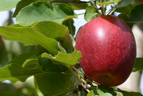 Kalei®-Apfel am Baum. Foto © APAL