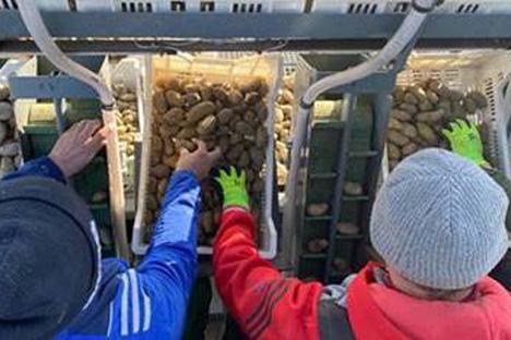 Pfälzer Grumbeere: Erzeuger beginnen mit dem flächendeckenden Auspflanzen der ersten Frühkartoffeln im Südwesten