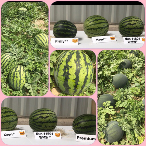 Wassermelone Foto Vegetable Seeds Bayer