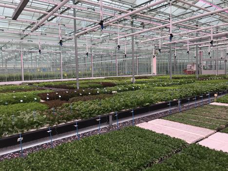 Foto © BASF Vegetable Seeds