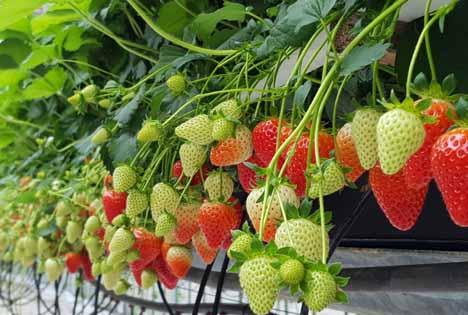 Neuheit auf der expoSE: Torf freies, nachhaltiges und klimafreundliches Substrat für den Erdbeeranbau