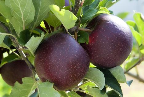 APAL Australien: Neuer Bravo™-Apfel kommt in den Einzelhandel