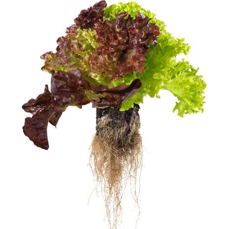 """Schweiz: Coop verkauft """"Living Salad"""" - Salat mitsamt Wurzelballen"""