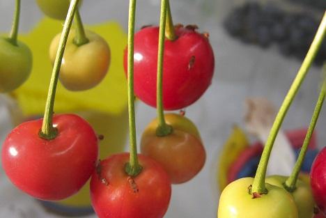 Kirschessigfliege auf Kirschen. Foto: Geipel/ LfL