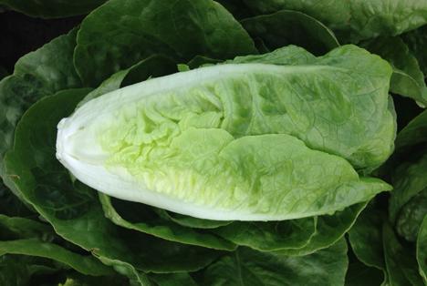 Nunhems Demowochen für Salat