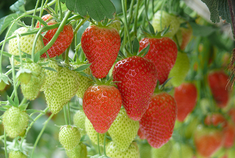 im rheinland sind die ersten erdbeeren geerntet fruchtportal. Black Bedroom Furniture Sets. Home Design Ideas