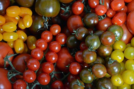 tomaten aus dem rheinland lassen den sommer erahnen fruchtportal. Black Bedroom Furniture Sets. Home Design Ideas