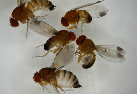 Kirschessigfliege. Quelle: Pflanzenschutzdienst NRW
