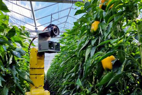 Neuer Ernteroboter Sweeper für süße Paprikas zum Test in gewerblichem Gewächshaus bereit