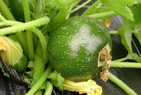 """Runde Zucchini Quellen: """"obs/Alnatura Produktions- und Handels GmbH/Alnatura GmbH"""""""