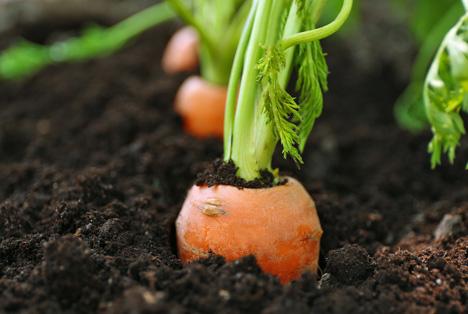 Karottenernte Foto ©  BVEO - Deutsches Obst und Gemüse