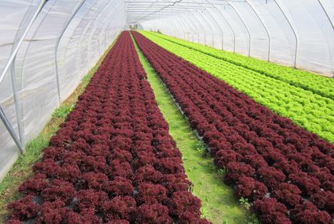 Salatanbau in unbeheizten Folientunneln. Foto OGA / OGV Nordbaden eG