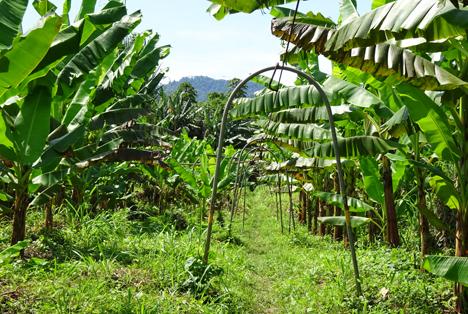 Schon jetzt setzt die Platanera Río Sixaola in Costa Rica Maßstäbe für den nachhaltigen Anbau von Bananen, z.B. durch bodendeckenden Unterwuchs. Foto © Cobana Fruchtring Gruppe