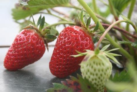 Was alte Erdbeeren so besonders macht, verraten die Demonstrationsbetriebe Ökologischer Landbau. Foto ©  Wahlbacherhof