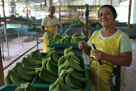 Bananenarbeiterin in Costa Rica: Cedoin Quiroz Saldania, Mitglied der Bananen-Kooperative COOPETRABASUR in Costa Rica, klebt das Fairtrade-Label auf die Bananen. Copyright: James Rodriguez / Fairtrade International