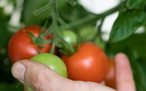 Tomaten aus Berlin - im November geerntet (Bild: Julia Schmidt)