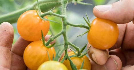 Tomatenernte in der Stadtfarm (Bild: Julia Schmidt). Foto © TopFarmers GmbH