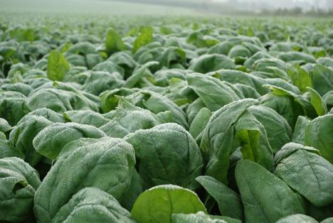 Nachhaltiger, regionaler Gemüseanbau im Münsterland. Foto: iglo GmbH