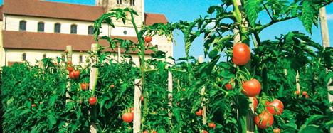 Foto © Reichenau-Gemüse eG Tomaten