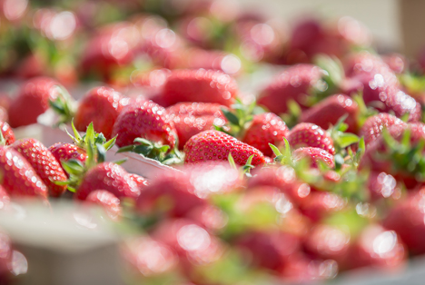 Zwischenbilanz Erdbeeren: Anbauer kämpfen erfolgreich gegen Frost und Fäule