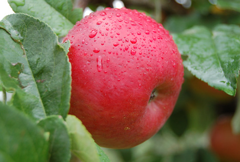 Apfel 'Ladina'. Foto © Artevos® GmbH
