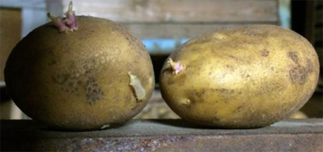 Foto © Bio Kartoffel Erzeuger e.V