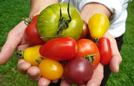 Tomatenvielfalt. Fotoquelle: BLE