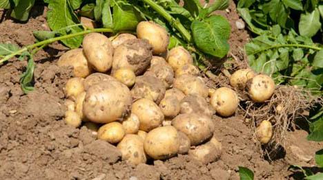 Foto: Bereits Ende Juni werden die ersten jungen Kartoffeln aus der Region dann auf den Markt kommen und Sommerlaune auf den Teller bringen. Foto © BBV