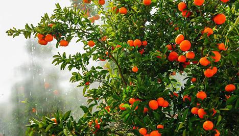 Nadorcott-Mandarinen von BioTropic. Foto © BioTropic GmbH