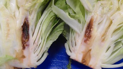 """Aktueller Status der Pflanzungen nach der Hitzeperiode (links), Salate mit """"inneren Verbrennungen"""" (rechts). Foto © Bonduelle"""