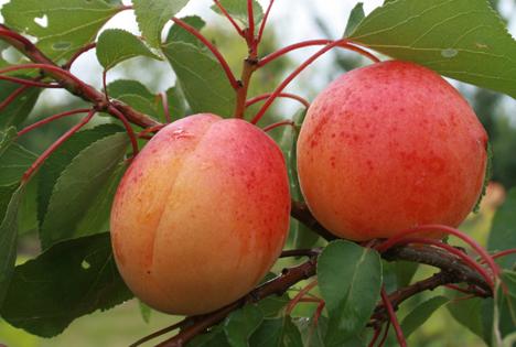 Pfirsiche, Nektarinen und Aprikosen aus deutschem Anbau dürfen lange reifen