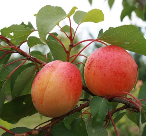 Aprikosen, Nektarinen und Pfirsiche aus deutschem Anbau schmecken – aufgrund der langen Reifezeit – besonders intensiv. Foto © GMH