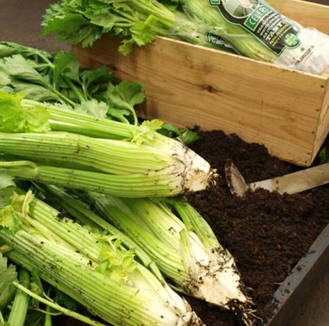 Waitrose viktorianisches Gemüse Fenland celery. Foto © Waitrose