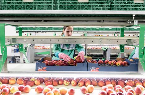 Aufbereitung von Jazz-Äpfeln. Foto © Fenaco