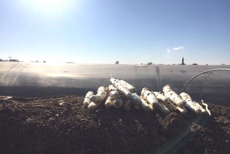 Trotz sibirischer Kälte: Bereits zu Beginn der Woche wurde der erste Spargel der Saison im niederbayerischen Stephanspoching (Lkr. Deggendorf) gestochen. Foto: Spargel + Beeren Baumann