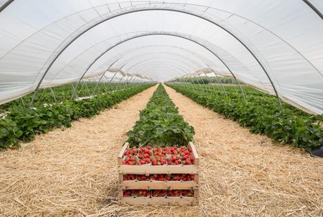 Foto © VSSE Erdbeeren