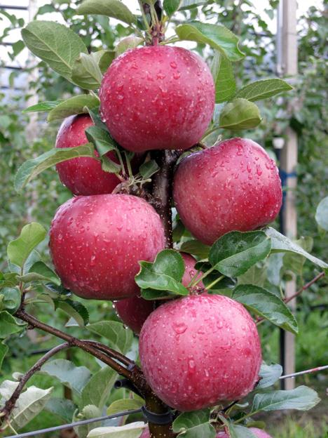 Die neue CIV-Fuji-Apfel-Sorte. Foto ©  CIV