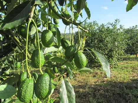 Kolumbianische Hass-Avocado. Foto © ICA