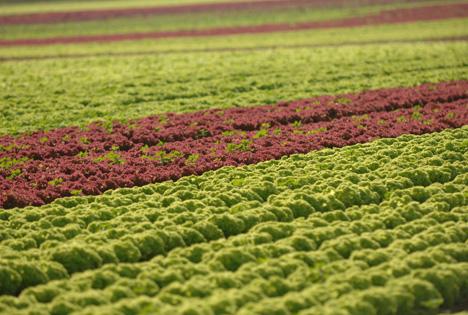 Saisonstart Salat Landgard: ©Landgard