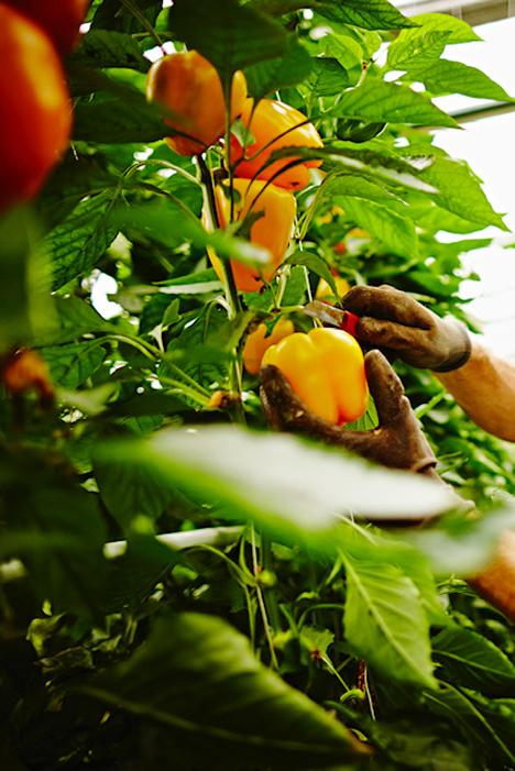 Saisonstart Paprika: ©Landgard/Schubert Fotografie