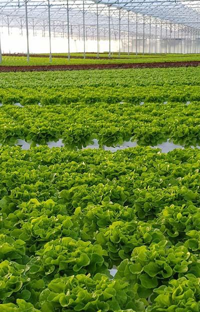 Salatanbau bei Verdeagua in Montevideo. Foto © Verdeagua/KRONEN GmbH