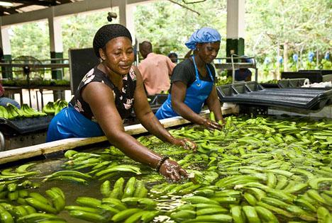 Bananenarbeiter, die Bananen bei Volta River Estates, in Ghana, reinigen. Foto © Nathalie Bertrams