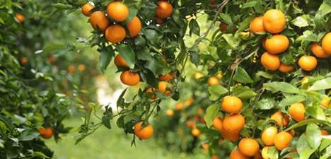 Orri-Mandarine. Foto © Orri Running Committee